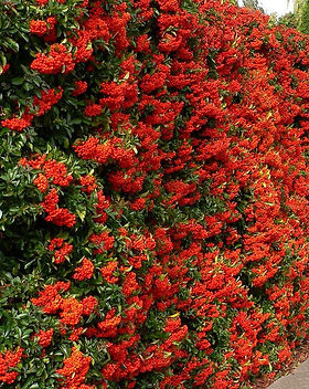Pyracantha _Red column_.jpg