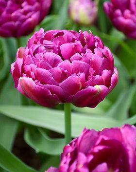 Tulip-Blue-Diamond-2017-2_x2000_crop_center.jpg