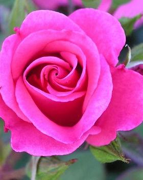 friend for life rose.jpg