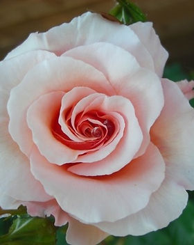 Great_Expectations_rose_edited.jpg