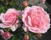 bonica modern shrub rose.jpg