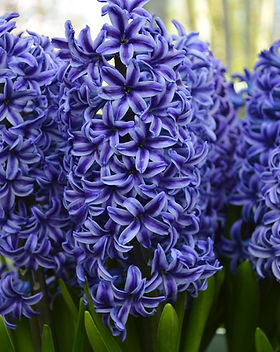 Hyacinth-Blue-Jacket-6_x2000_crop_center.jpg