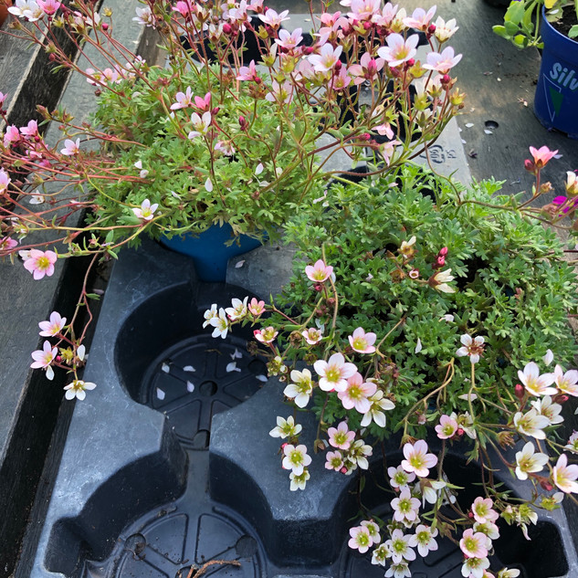 OUT OF STOCK Saxifrage £3.50
