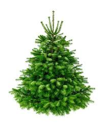 Norway Spruce whole tree