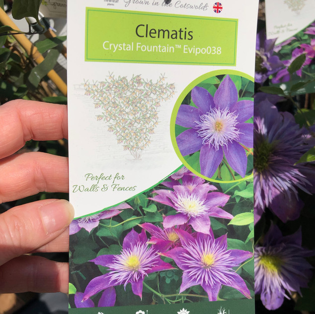 Clematis Crystal Fountain £12.99