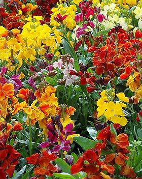 Wall flower persian.jpg