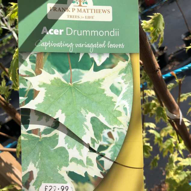 Acer Drummondii (8-9' high) £29.99