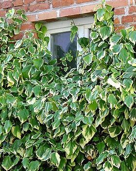 Ivy dentata-variegata.jpg