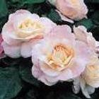 english miss floribunda rose.jpg