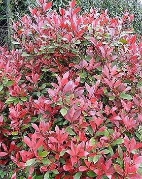 Photinia _Little red robin_.jpg