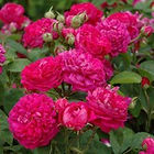 rose de rescht shrub rose.jpg