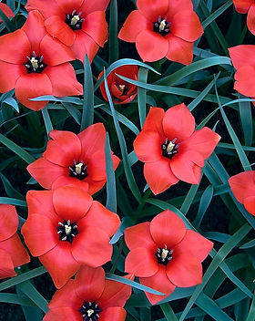 tulipa-linifolia-batalinii-red-hunter.jpg