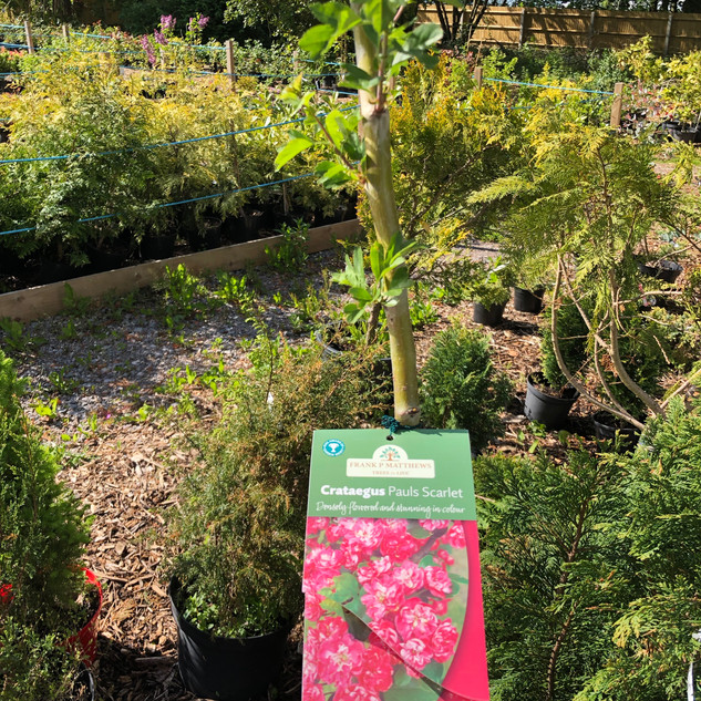Crataegus Pauls Scarlet (8' high) £25