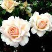 chandos beauty rose HT rose.jpg