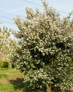 osmanthus-x-burkwoodii-multi-stem-3.jpg