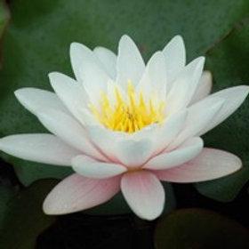 Nymphaea 'Marliacea Carnea'