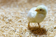 baby-chick-1443978698YEB.jpg