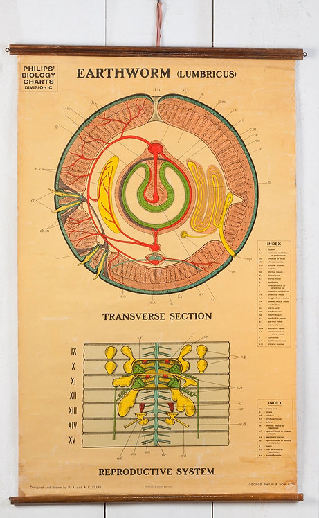 WALL CHART SHOWING THE ANATOMY OF AN EARTHWORM.