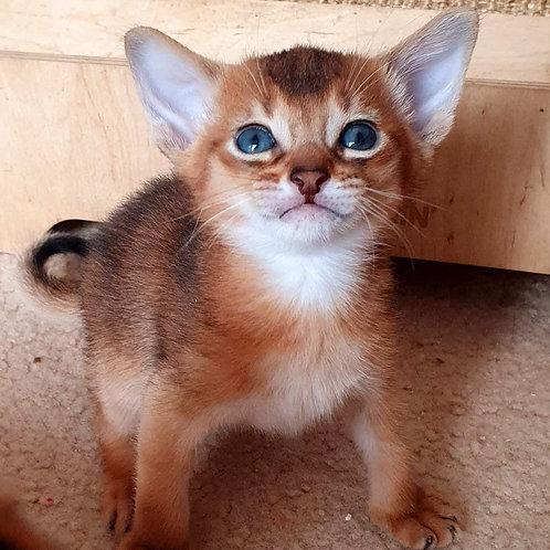 73 Gvineya   purebred Abyssinian female kitten