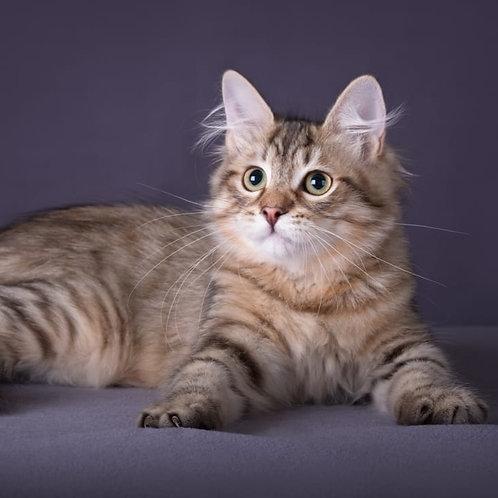 620 Odissey Siberian male kitten