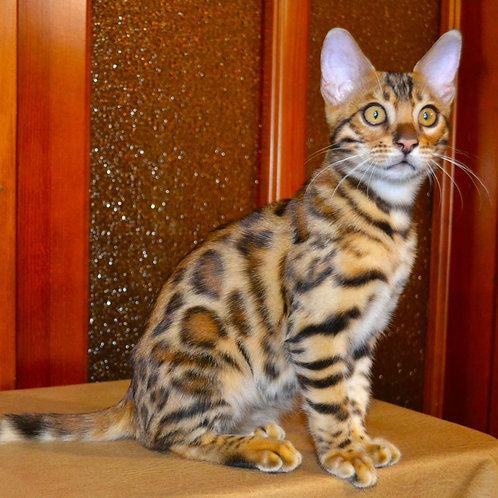 161 Lionel purebred Bengal male kitten