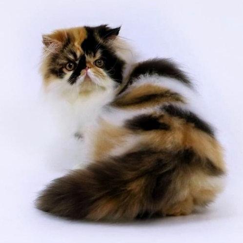 187 Fantastic   Persian  female kitten