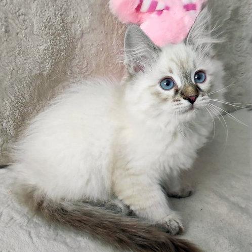 79 Dezdemona      Siberian female kitten