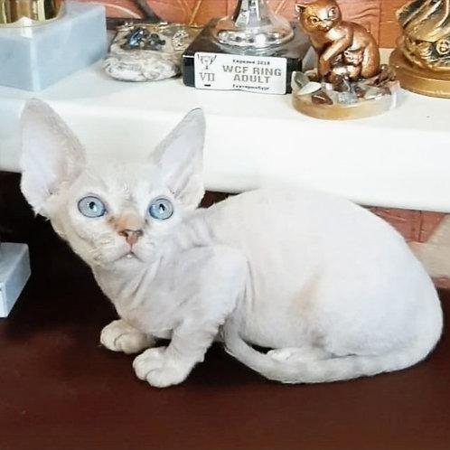 451 Leusea  female kitten Devon Rex