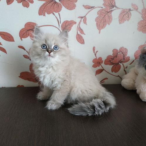 Princess Siberian female kitten
