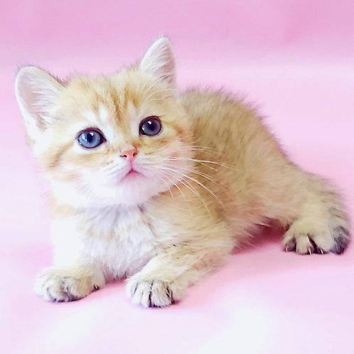 466 Otis  British shorthair male kitten