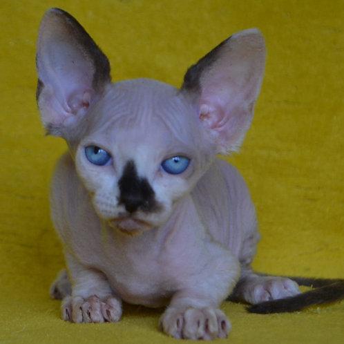 271 Dallas  male Sphinx kitten