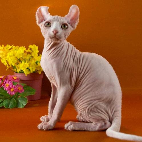 513 Galaxy male Elf kitten