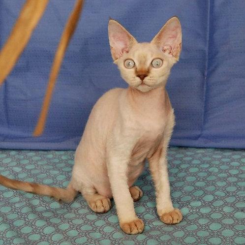 556 Latifa  female kitten Devon Rex