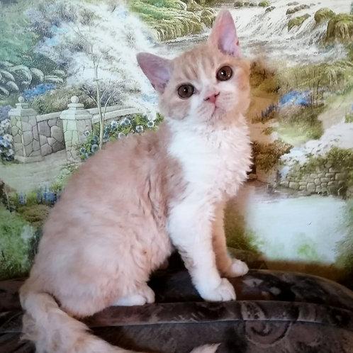 726 Richie    Selkirk rex shorthair male kitten