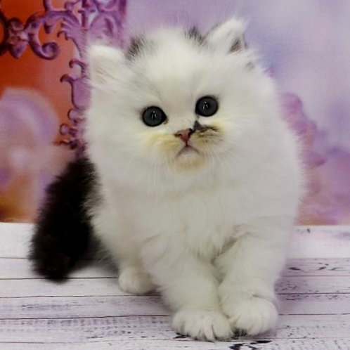 899 Hero  Scottish straight longhair male kitten