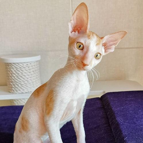584 Neo  male kitten Cornish Rex