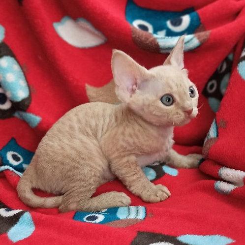 Mars male kitten Devon Rex