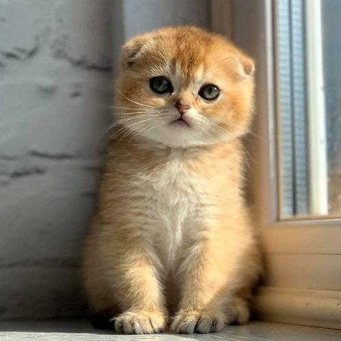 382 Riddick    Scottish fold shorthair male kitten