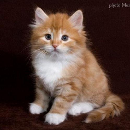 115 Mars  Siberian male kitten