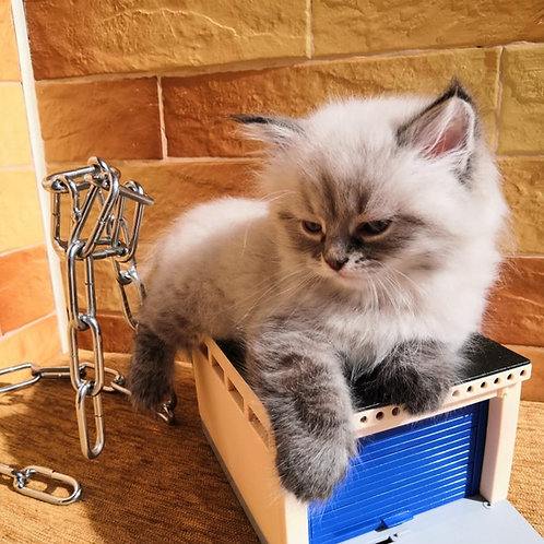 Patrick Siberian male kitten