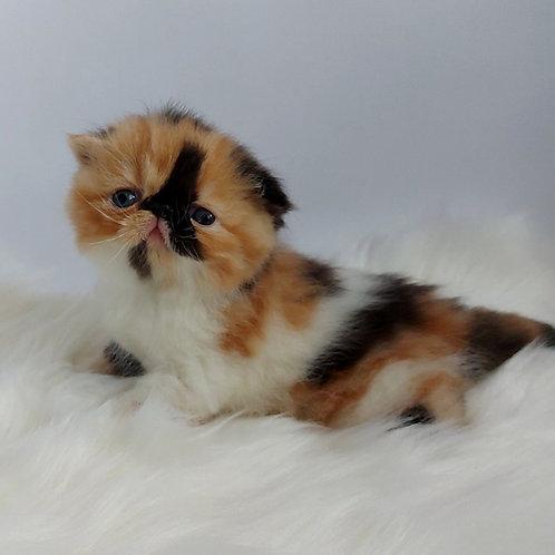 43 Gabriela    Exotic shorthair female kitten