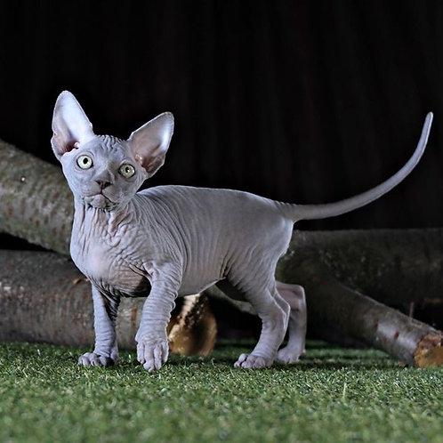Dorian Grey male Sphinx kitten