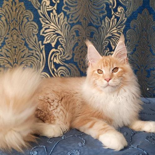 359 Ferdinand    Maine Coon male kitten
