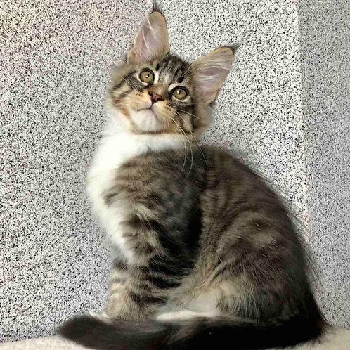 878 Onix  Maine Coon male kitten