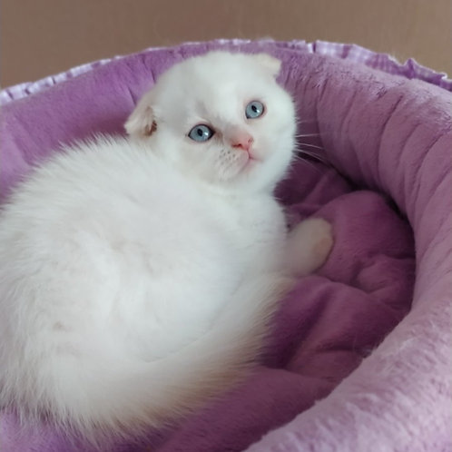 449 Tihon Scottish fold shorthair male kitten