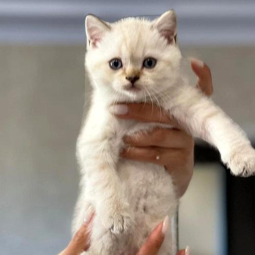 780 Atos  Scottish straight shorthair male kitten