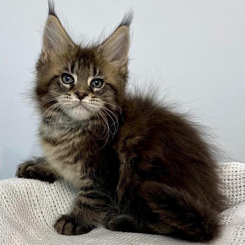 409 Tamira  Maine Coon female kitten