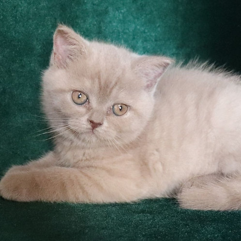 784 Breeze   Scottish straight shorthair male kitten