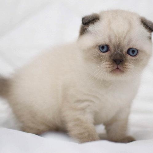 Vegas Scottish fold shorthair male kitten