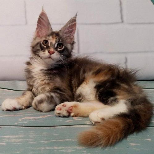 652 Dakota  Maine Coon female kitten